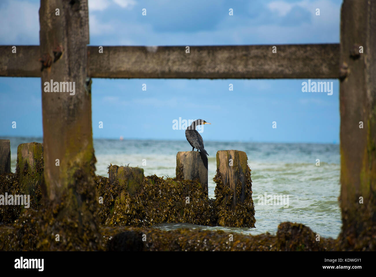Cormorant Posing on a battered storm breaker on the Norfolk Coast - Stock Image
