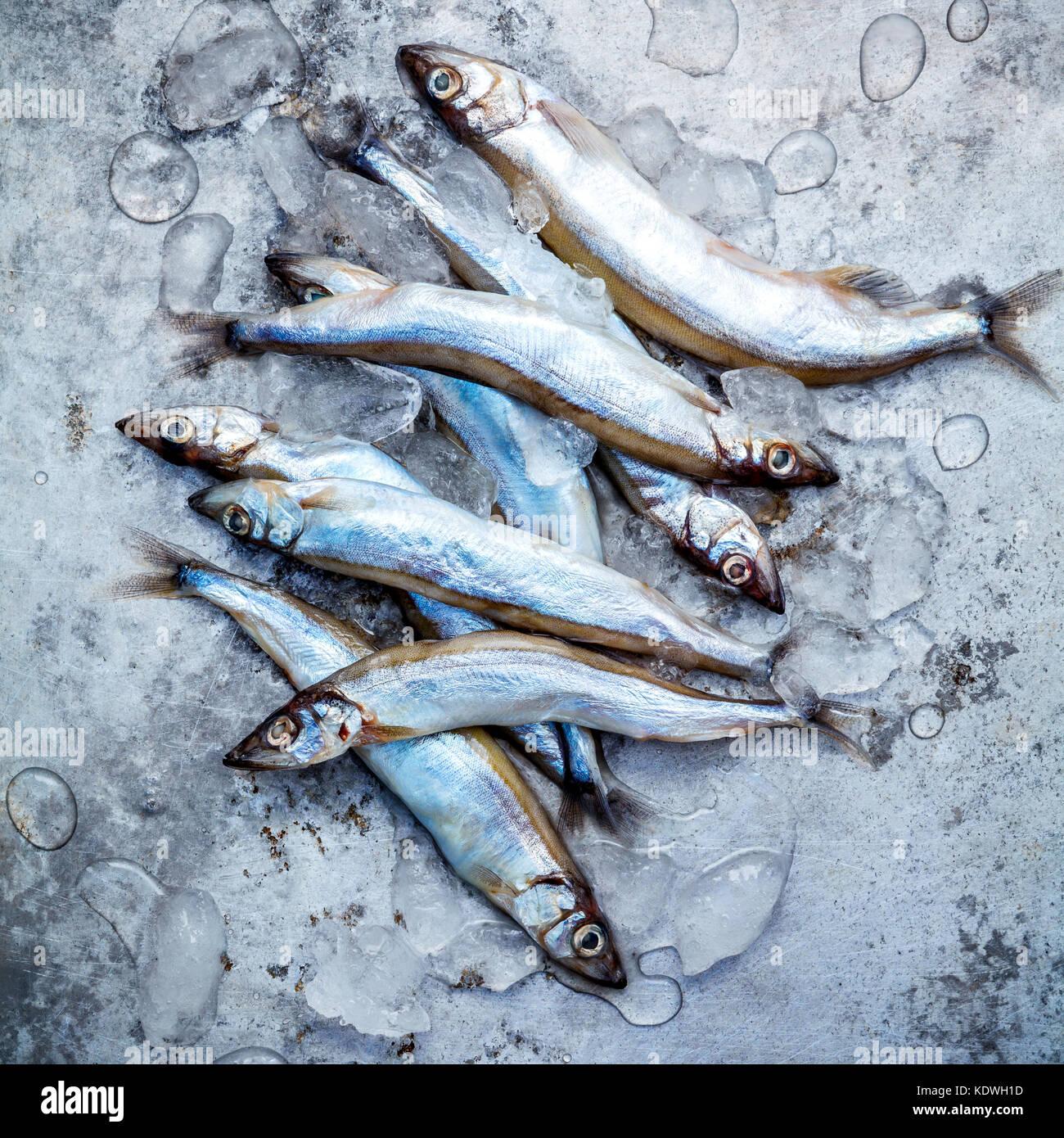 Fresh catch Shishamo fish fully eggs flat lay on shabby metal background. Shishamo fish is popular fish for Japanese - Stock Image