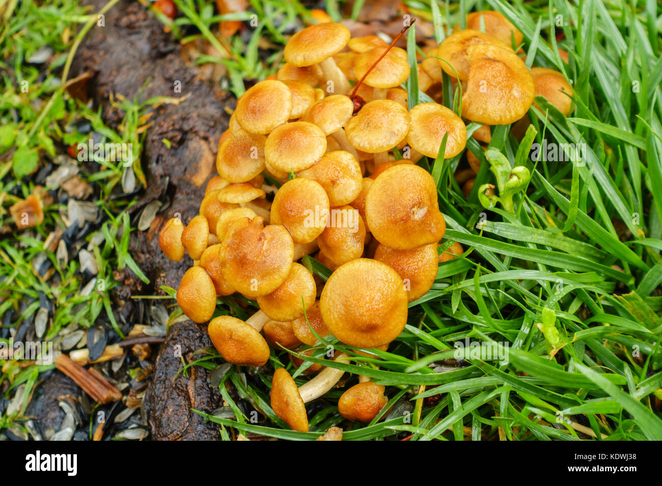 A patch of Honey fungus mushrooms, Armillaria mellea, growing around Crabapple, malus, tree roots in an urban lawn - Stock Image