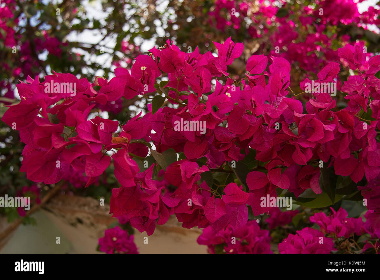 Beautiful flowers of india stock photos beautiful flowers of india photo of beautiful flowers on a tree in india stock image izmirmasajfo