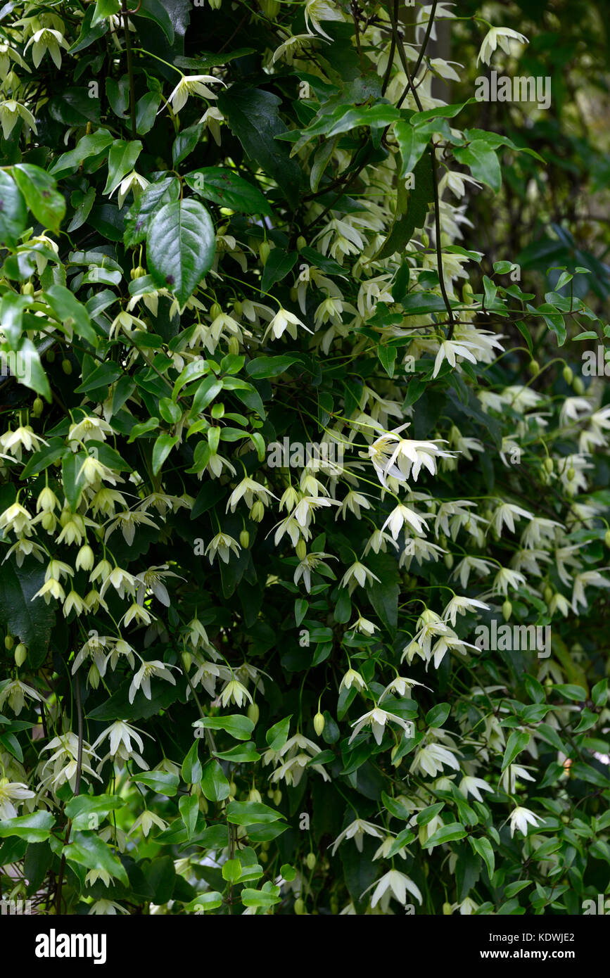 Clematis armandii snowdrift, evergreen, climber, climbers, winter, flowering, white, flower, flowers, RM Floral - Stock Image