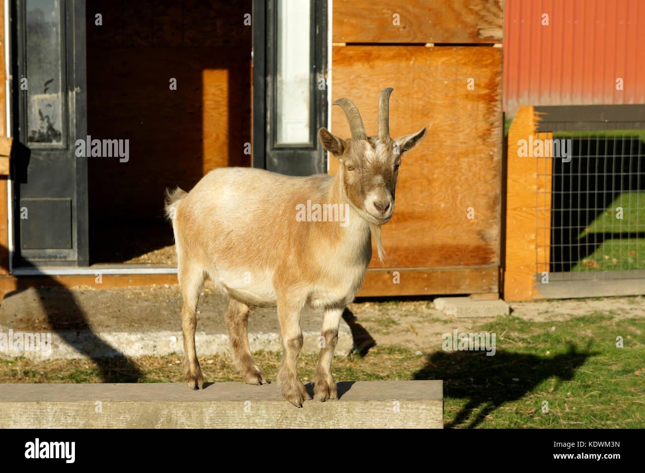 Mature adult miniature goat at Westham Island Herb Farm, Delta, British Columbia, Canada - Stock Image