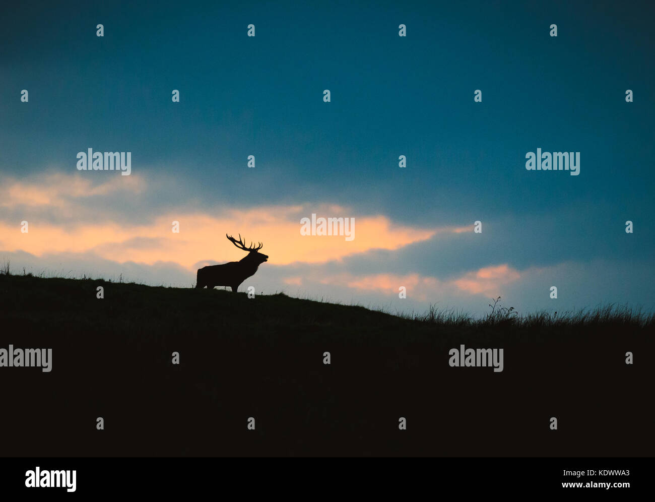 A Red Deer Stag and doe silhouetted against the evening sky in the peak district during autumn rutting season. - Stock Image