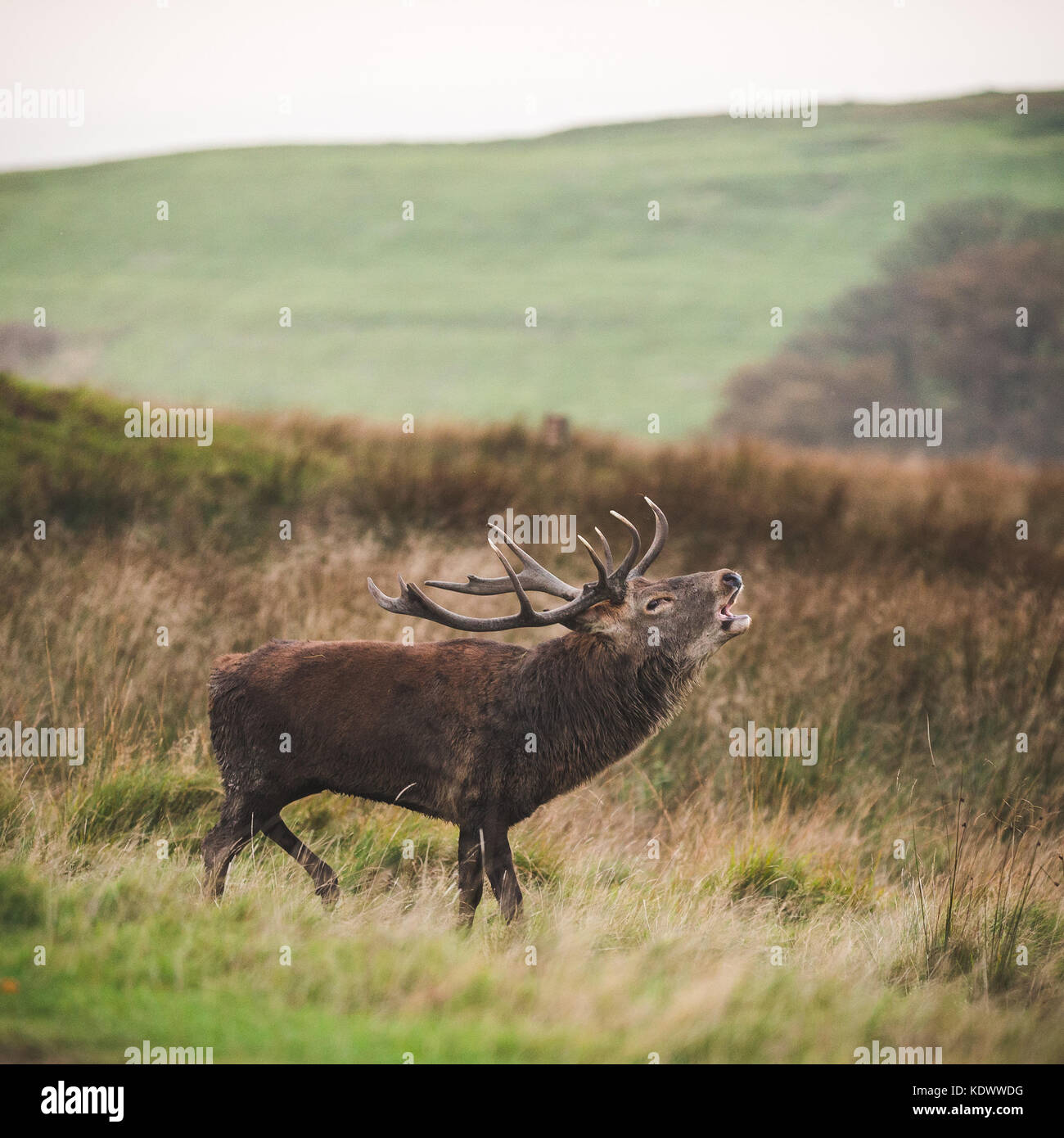 A Red Deer stag during rutting season in the peak district - Stock Image