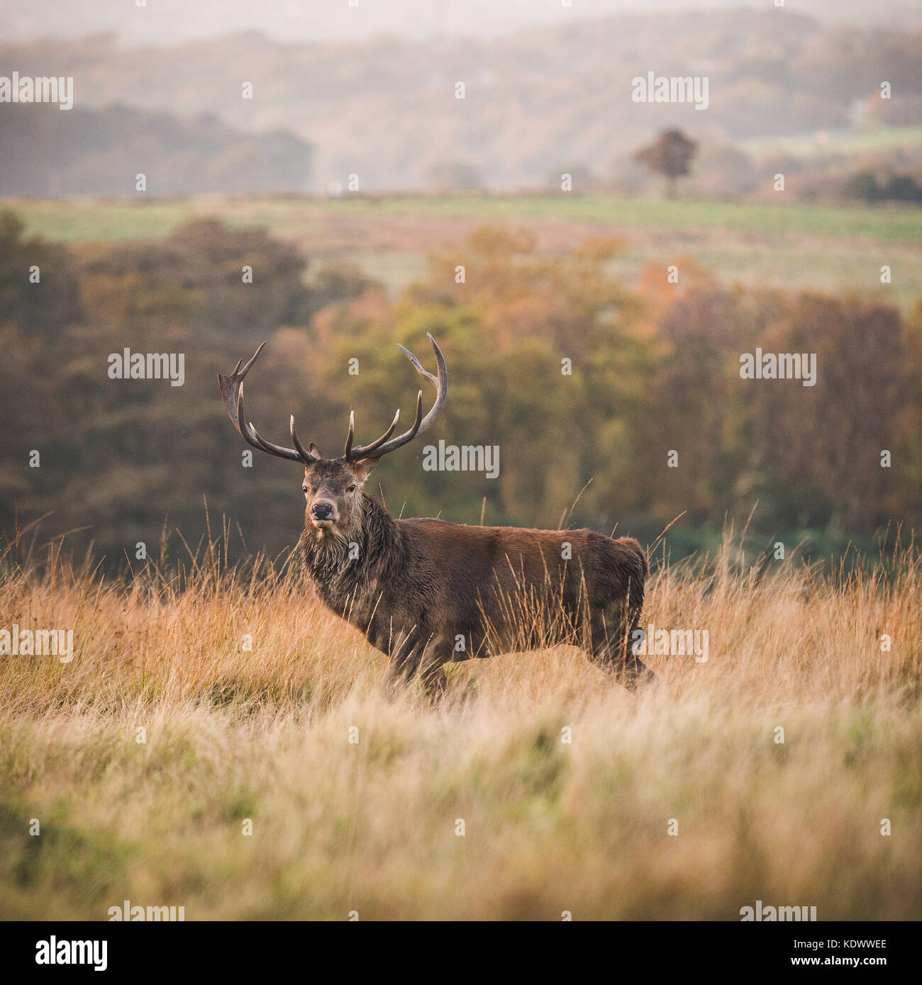 A Red Deer Stag stands on moorland in the Peak District - Stock Image