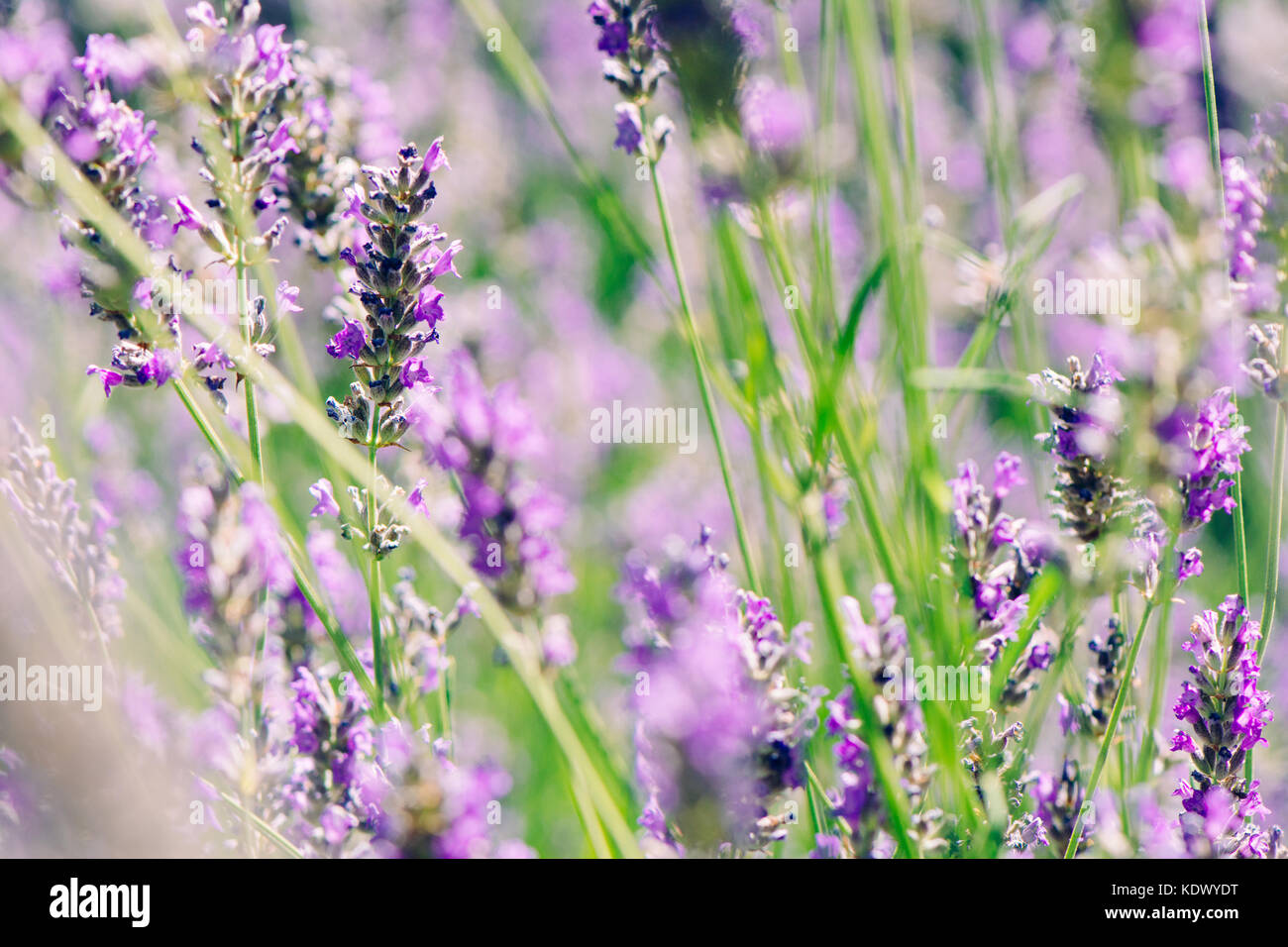 wild lavenders in the field, a sunny day, close up Stock Photo