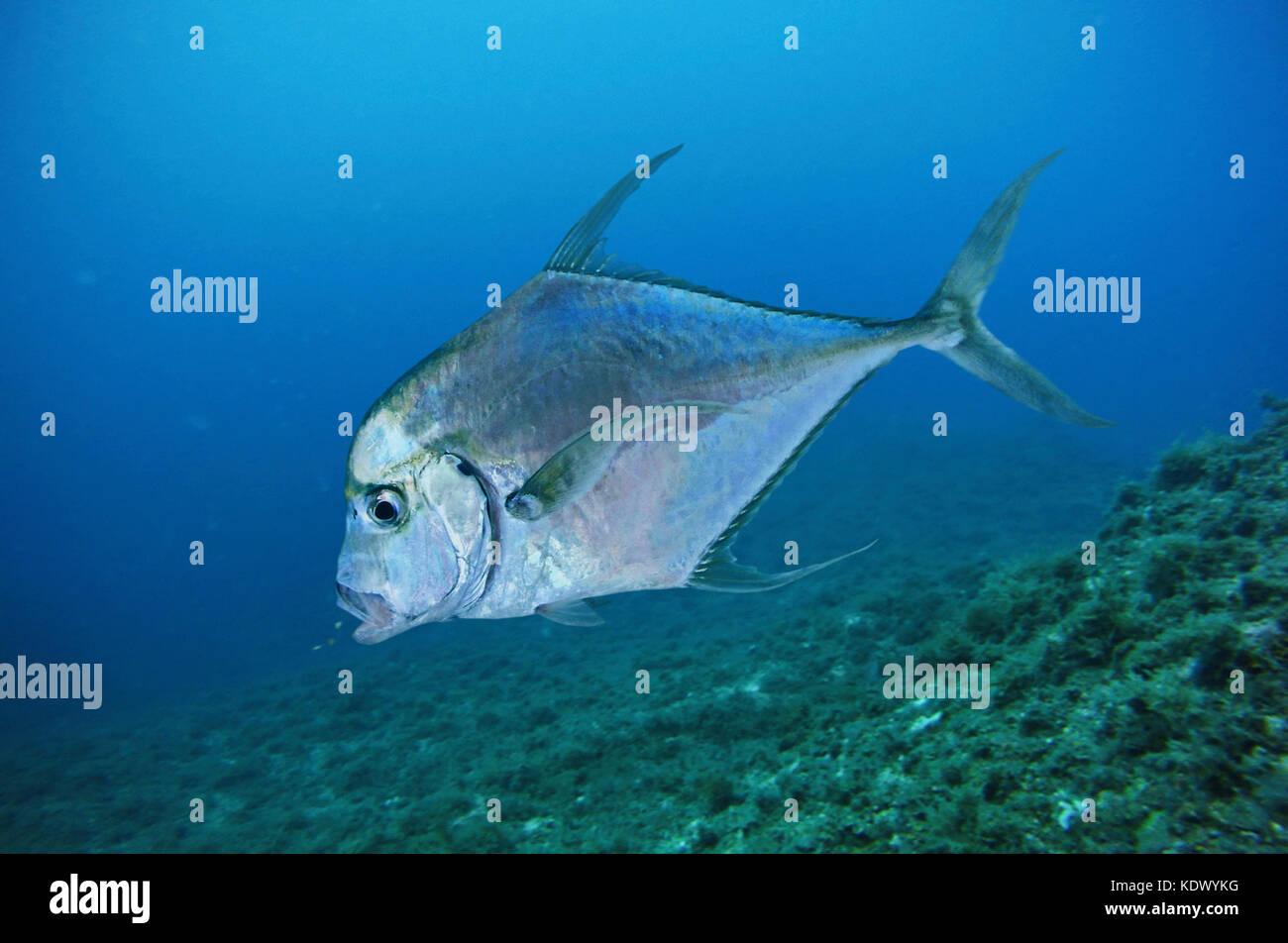 Alexandria pompano, Alectis alexandrina. Adults are solitary in coastal water near the bottom to at least 50 m and - Stock Image