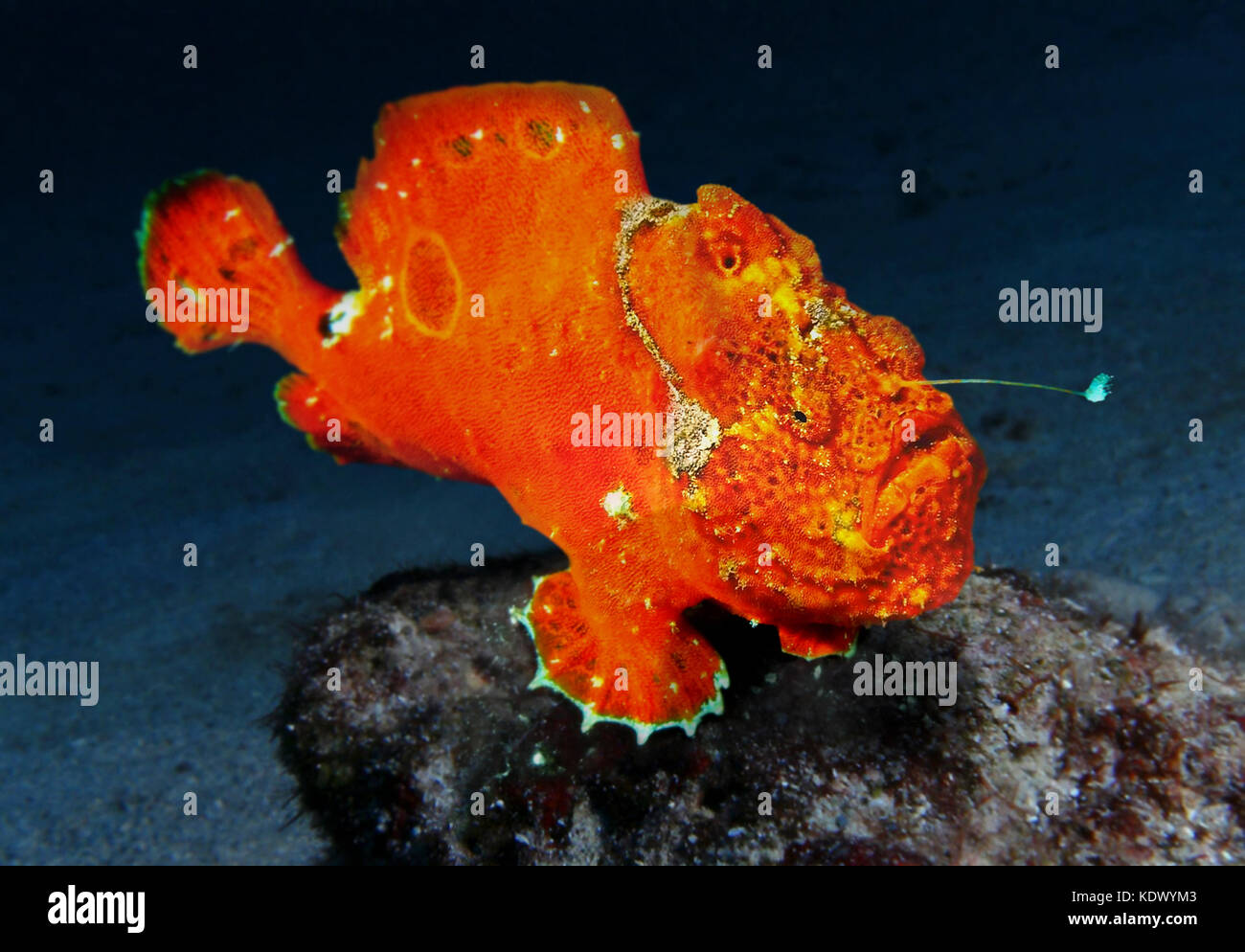 Longlure frogfish, Antennarius multiocellatus.  Colour highly variable. It's a bottom dweller, it mimics surrounding - Stock Image