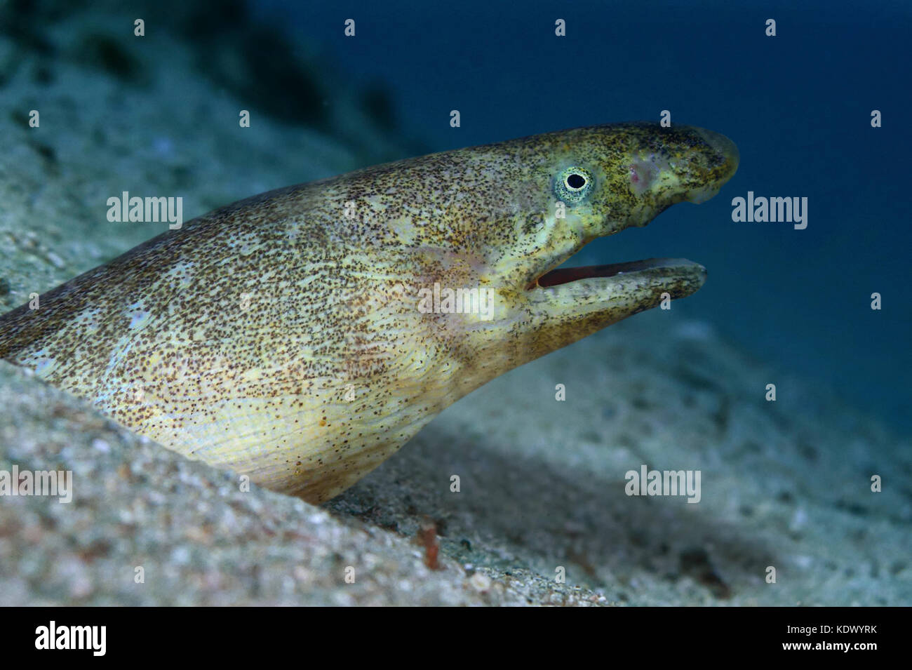 Armless snake eel, Dalophis imberbis. Buried in the sand only with the head outside. Distributed from Portugal and - Stock Image