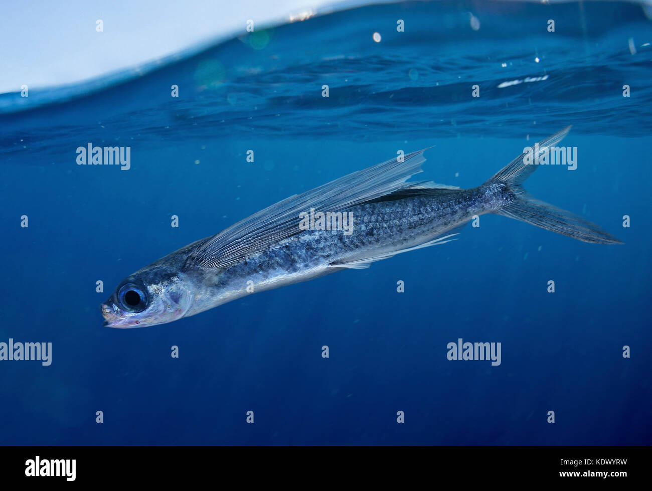 Oceanic two-wing flying fish, Exocoetus obtusirostris. Swimming close to the surface. This is a pelagic, oceanodromous Stock Photo