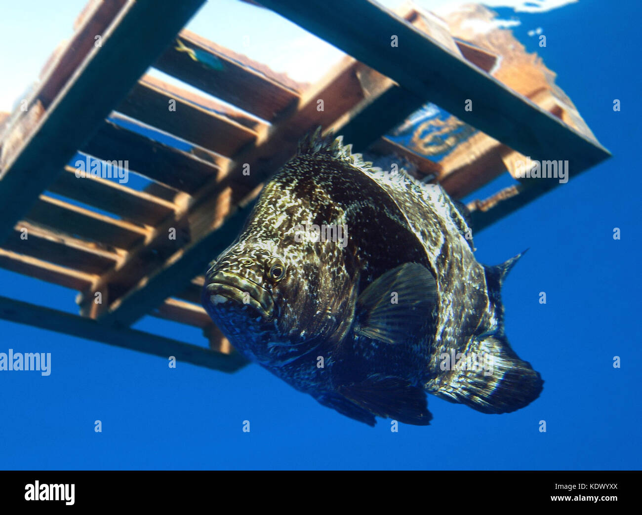 Atlantic tripletail, Lobotes surinamensis.  In the middle of the Atlantic Ocean, off Madeira, drifting adrift beneath Stock Photo