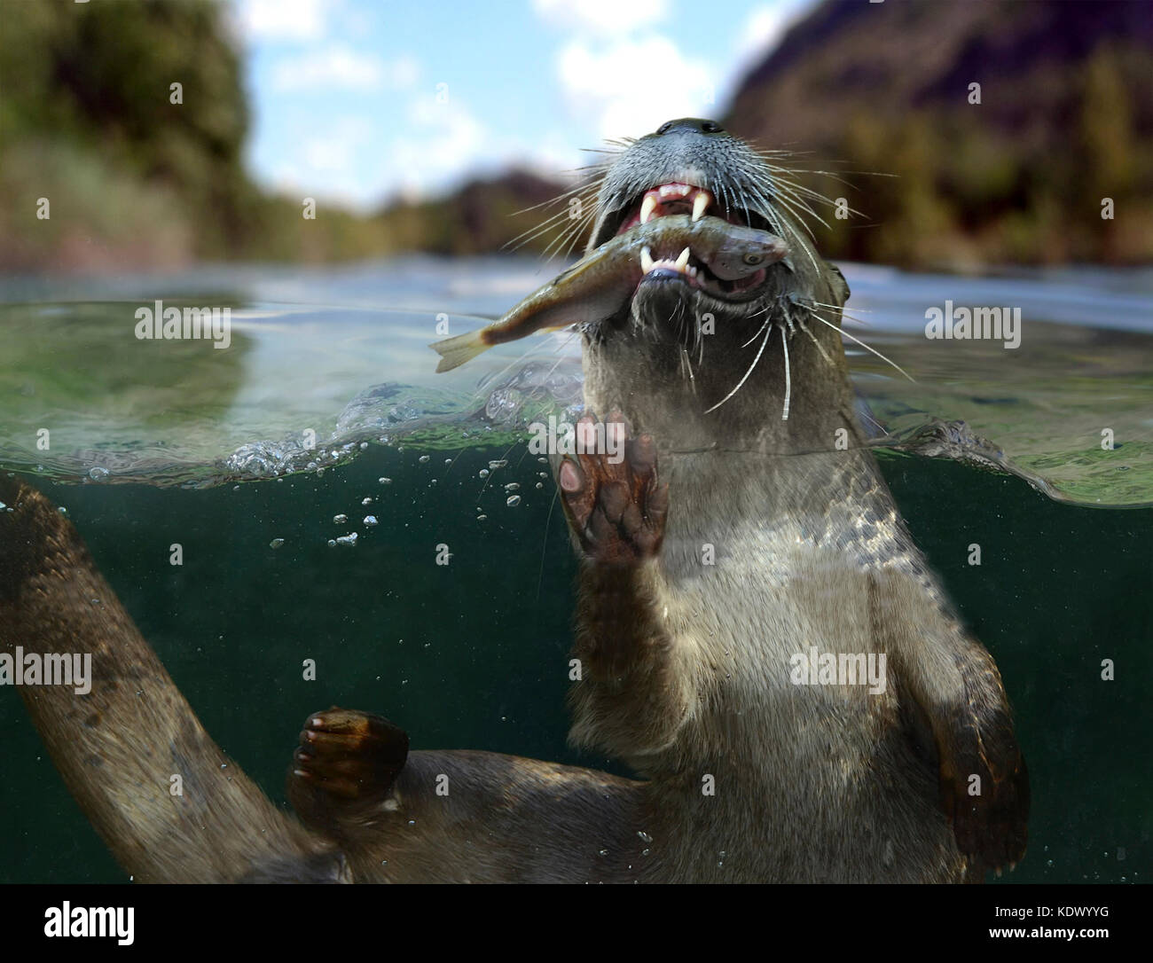 Eurasian otter, Lutra lutra. At the surface eating a freshly caught fish. Otter's diet mainly consists of fish - Stock Image