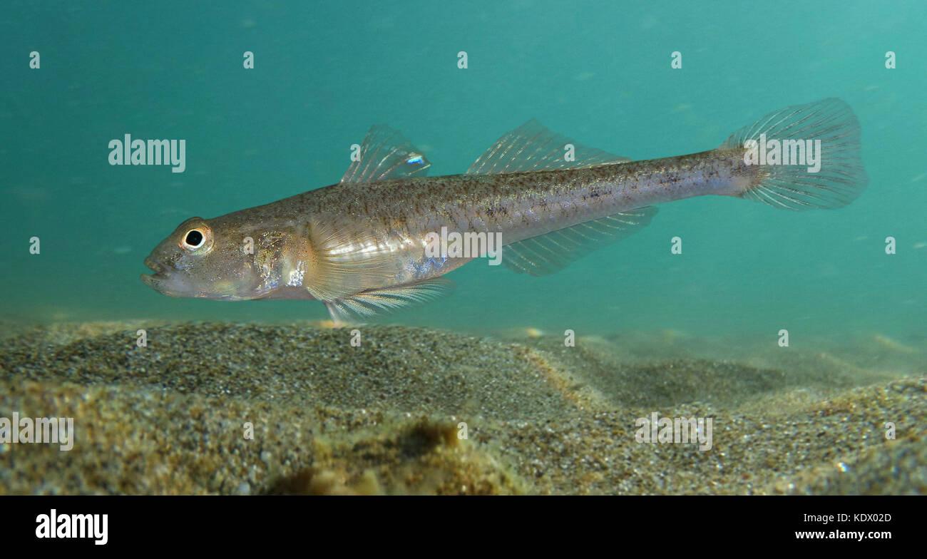 Lozano's goby, Pomatoschistus lozanoi. Swimming over sand bottom. It's a native to the northeastern Atlantic - Stock Image