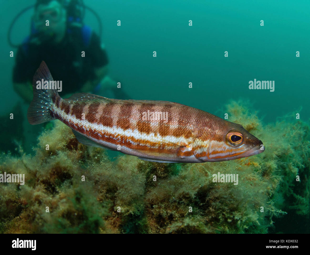 Comber, Serranus cabrilla. Swimming in front of diver.  Is widely distributed in the Eastern Atlantic and is known - Stock Image