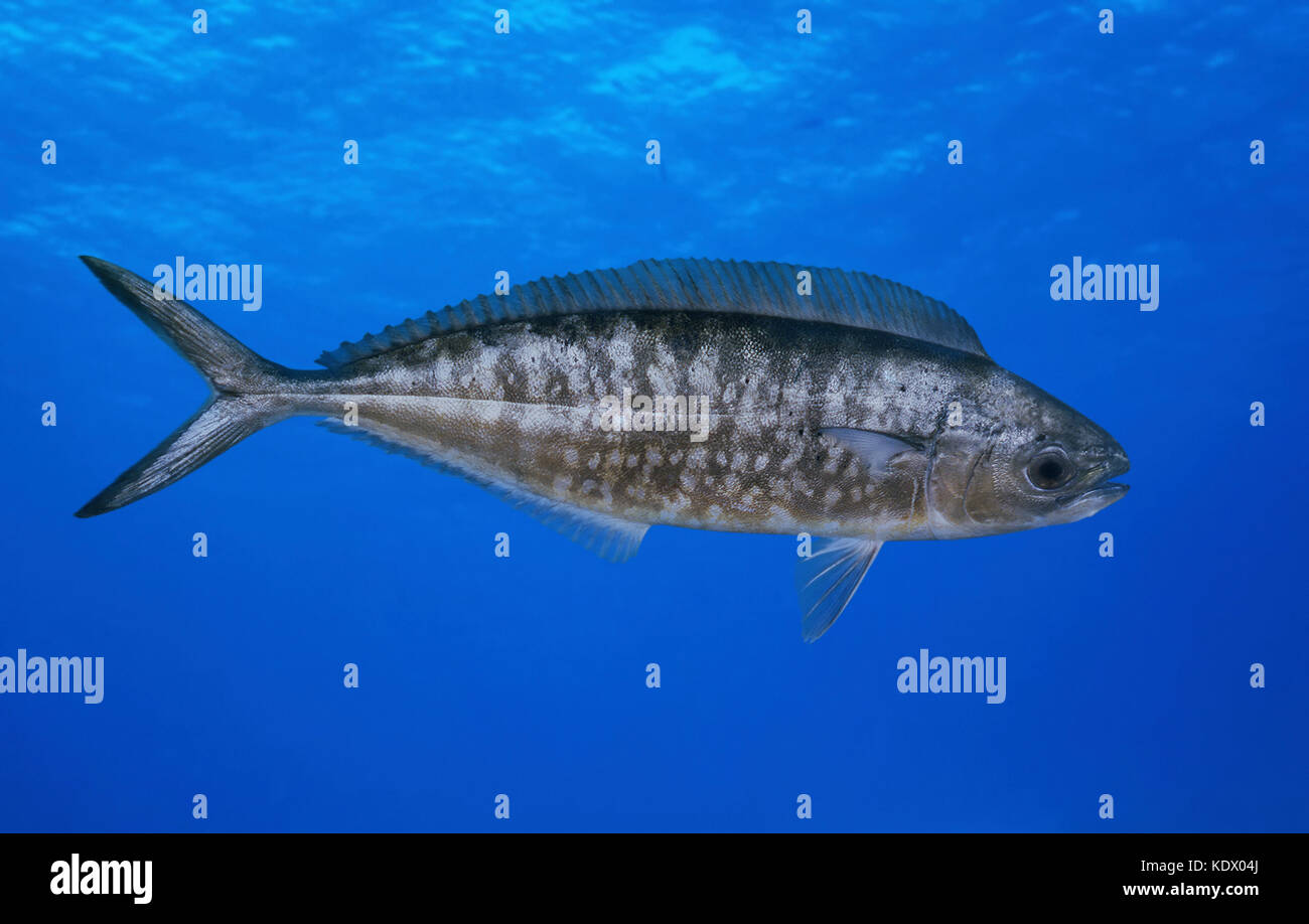 Pompano dolphinfish, Coryphaena equiselis. Young fish swimming on mid-water. Frequently misidentified as juvenile - Stock Image