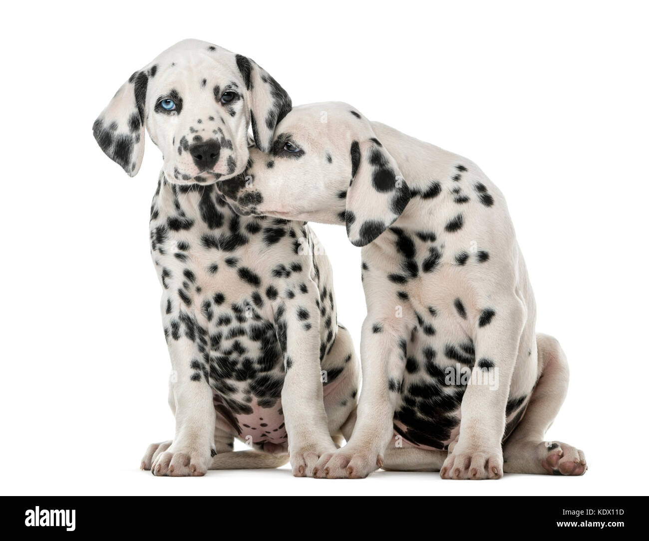 Two Dalmatian puppies cuddling in front of a white background - Stock Image