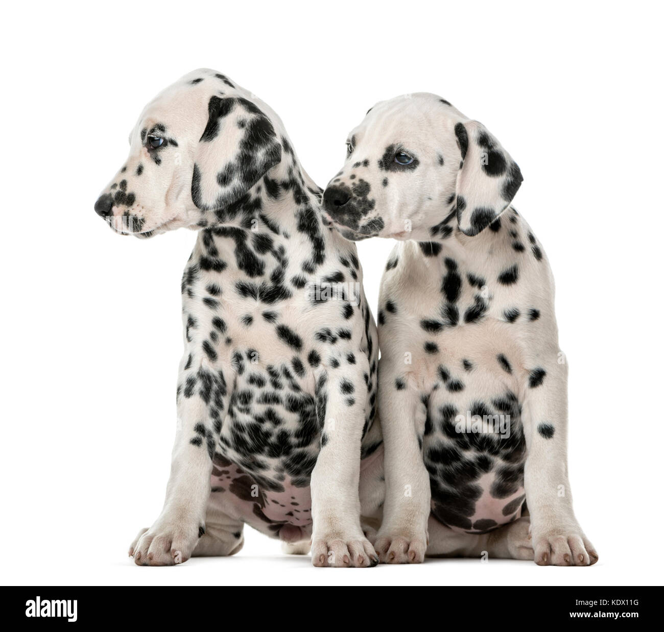 Two Dalmatian puppies sitting in front of a white background - Stock Image