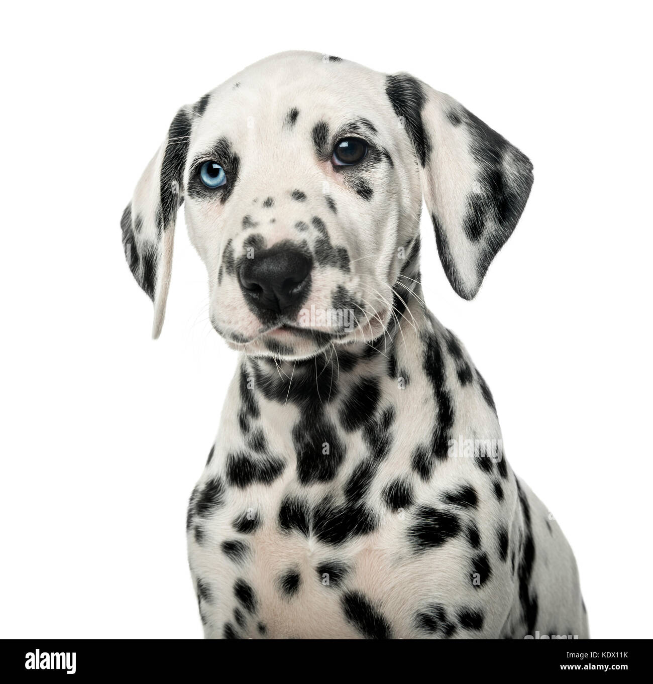 Close-up of a Dalmatian puppy in front of a white background - Stock Image