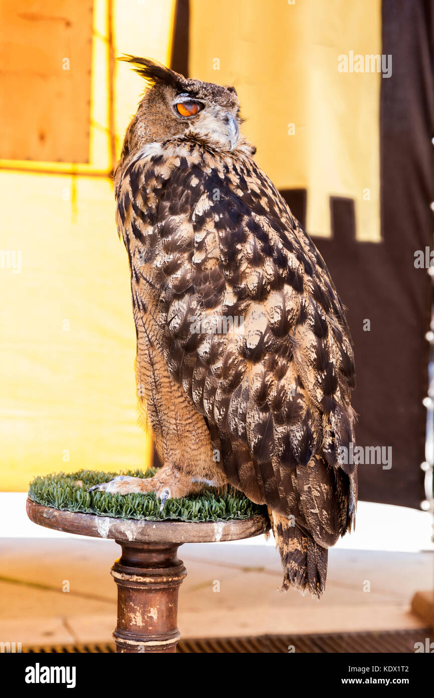 real owl on a host in an exhibition - Stock Image