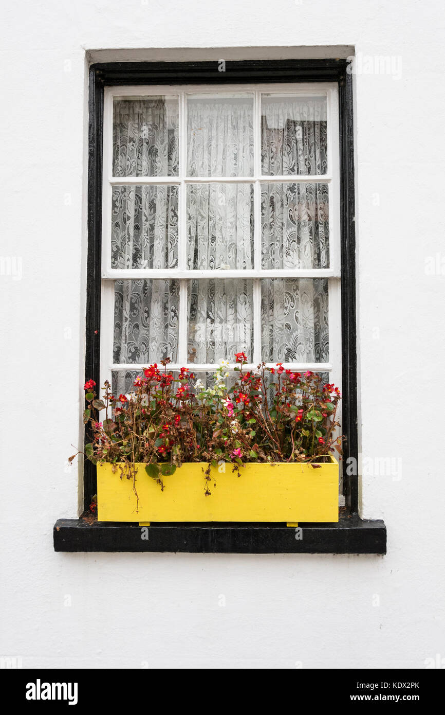 A colourful bright yellow window box in Old Isleworth, Middlesex, UK - Stock Image