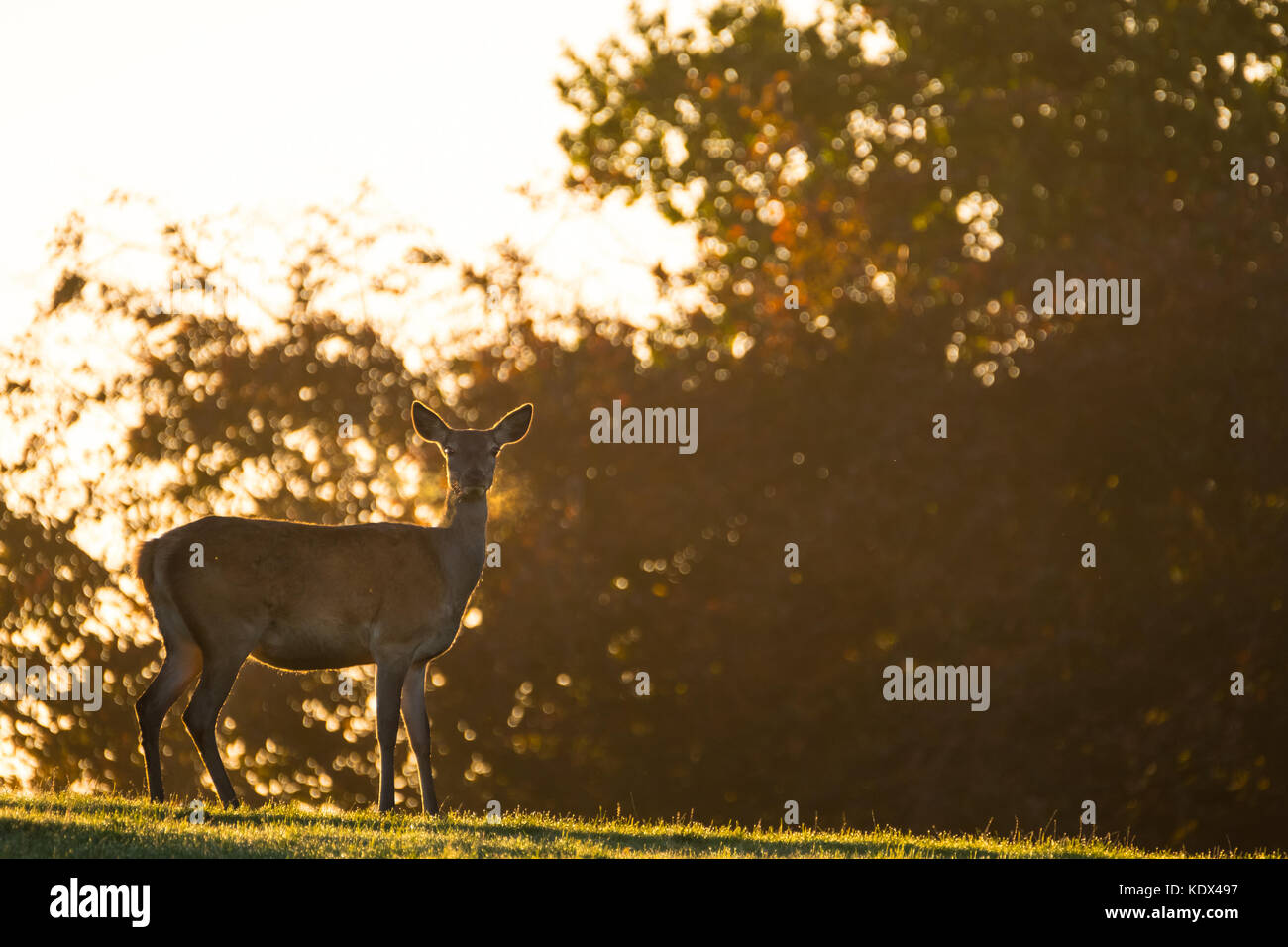 Female Red Deer Backlit with Golden Morning Light - Stock Image