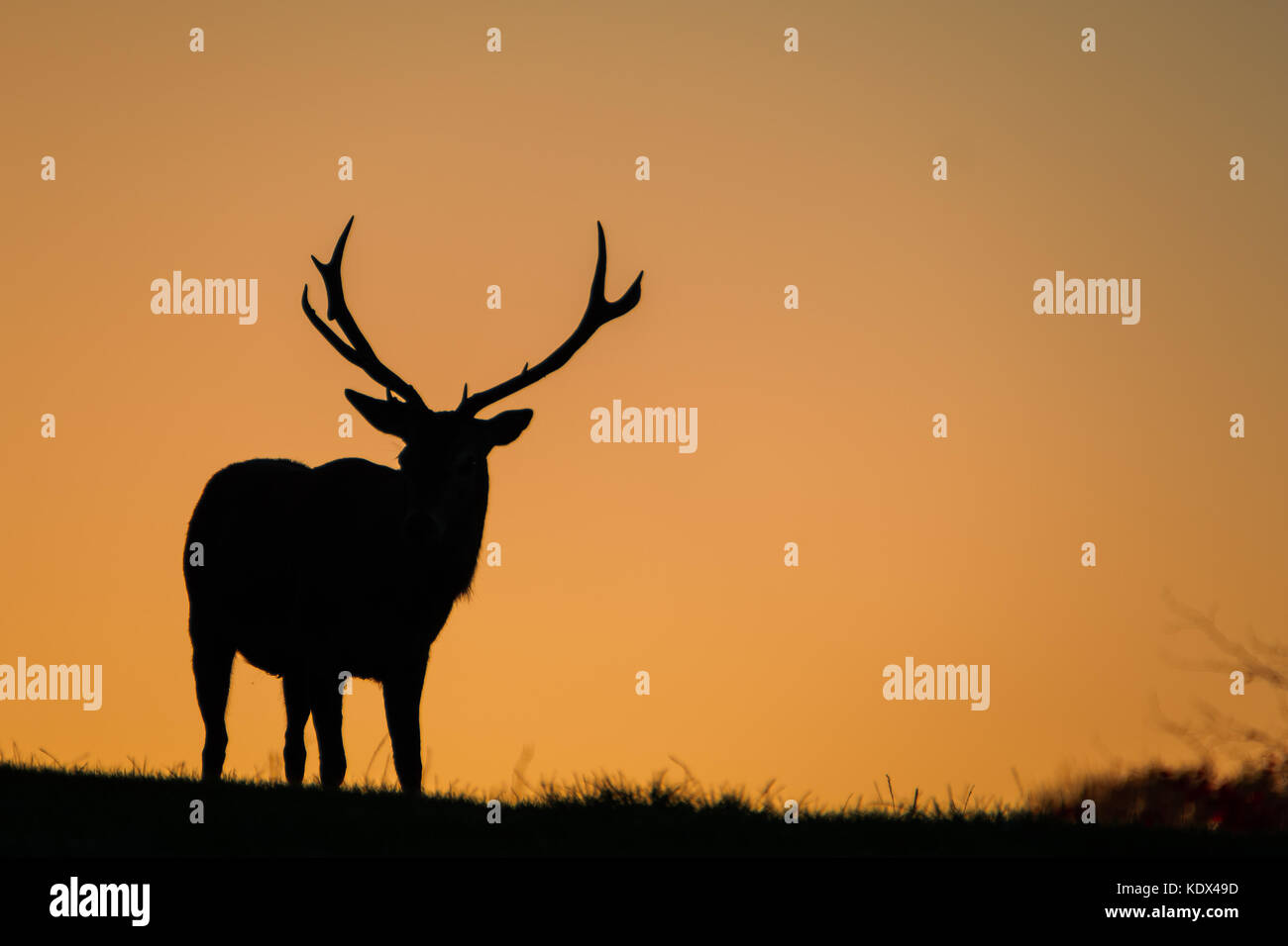 Silhouette of a Large Red Stag - Stock Image