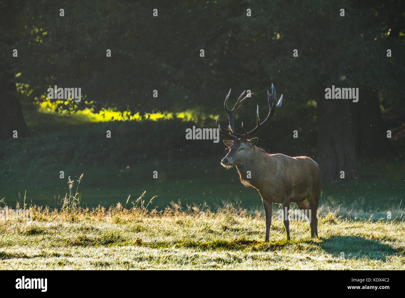Red Deer Stag Under Golden Morning Light - Stock Image