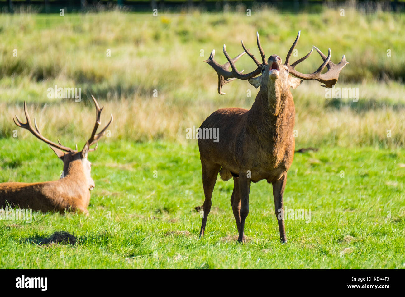 A Red Stag Shouting During Rutting Season - Stock Image