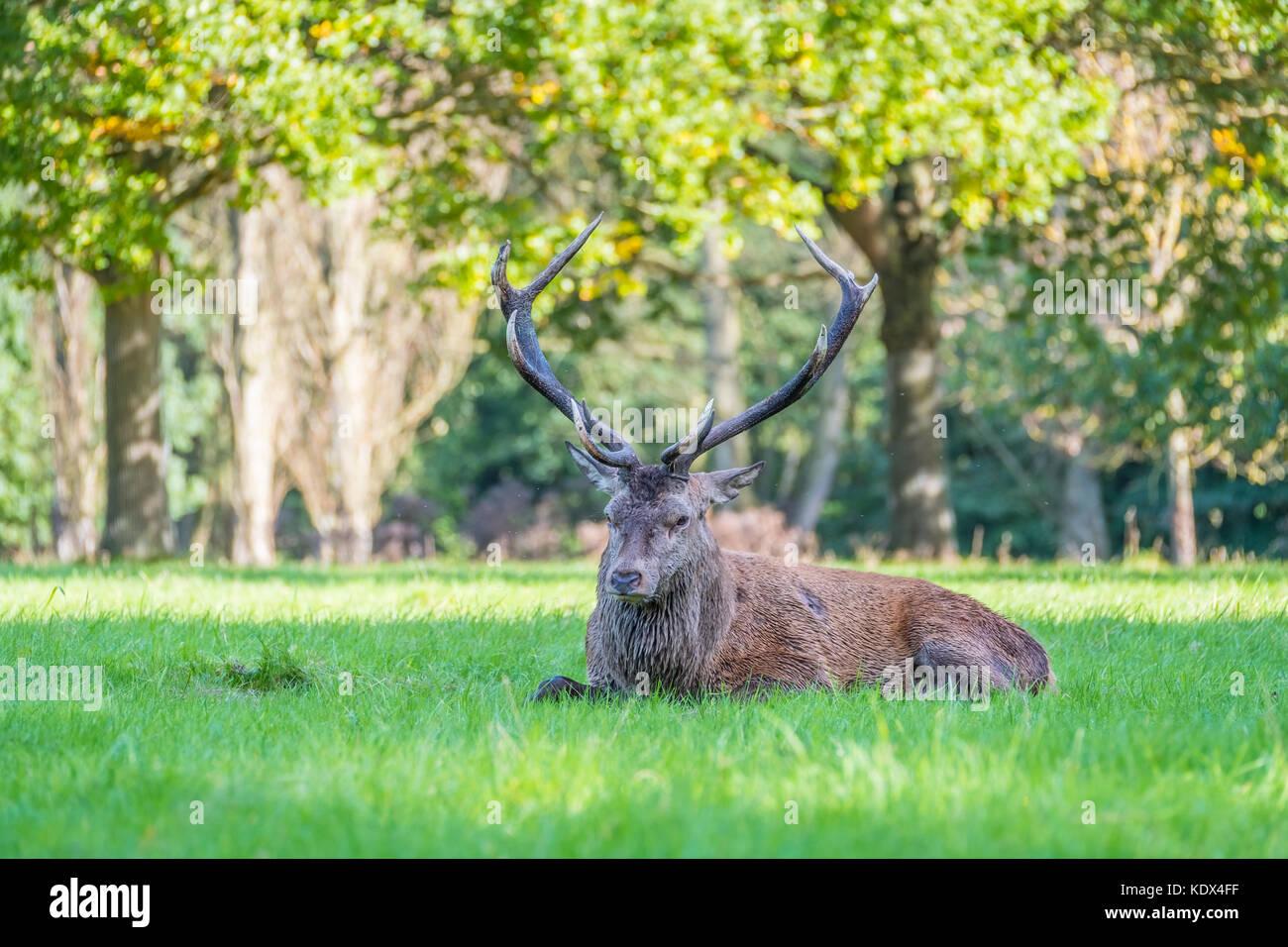Injured Red Deer Stag - Stock Image