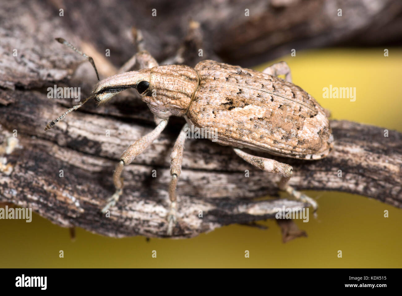 Weevil Beetle macro photograph - Stock Image
