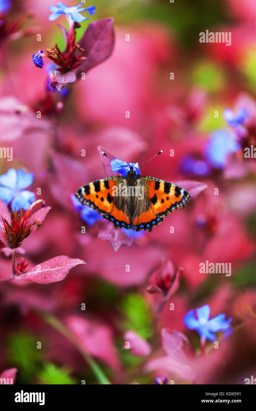 Small tortoiseshell , Aglais urticae on Ceratostigma plumbaginoides in autumn - Stock Image