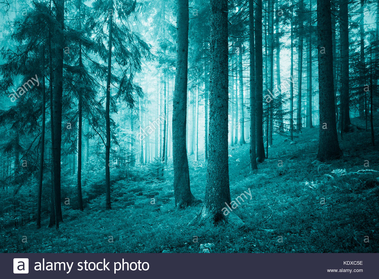 Beautiful turquoise colored dreamy conifer forest. Color filter effect used. - Stock Image