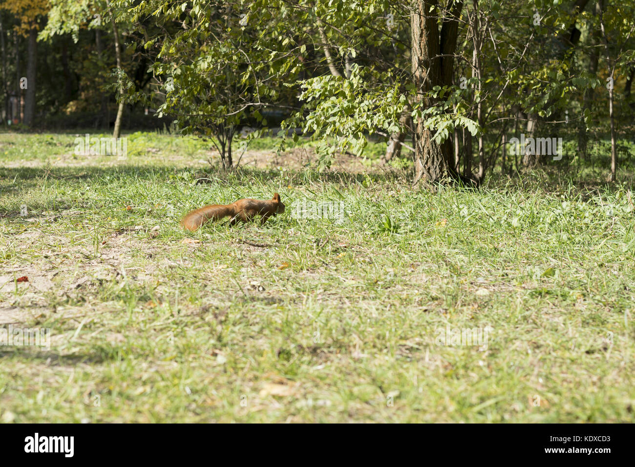 Squirrel runs through the forest - Stock Image