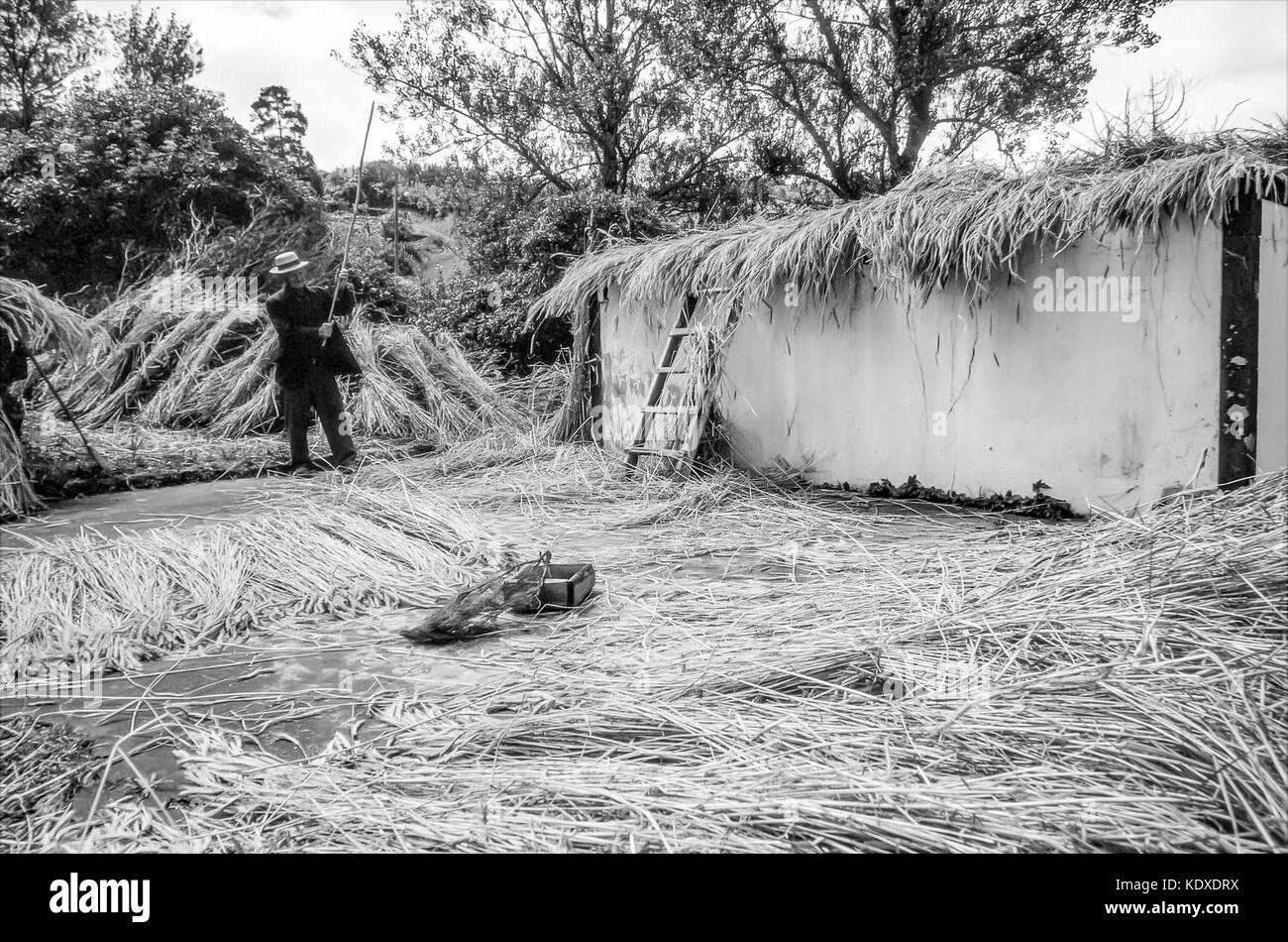 An elderly Azorian craftsman flails freshly harvested straw to be made into roof thatching and house brooms in Praia - Stock Image