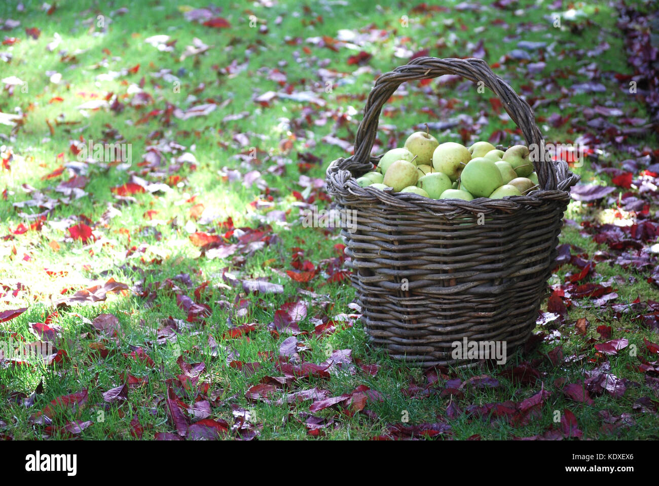 Basket filled with freshly picked Apples - Stock Image