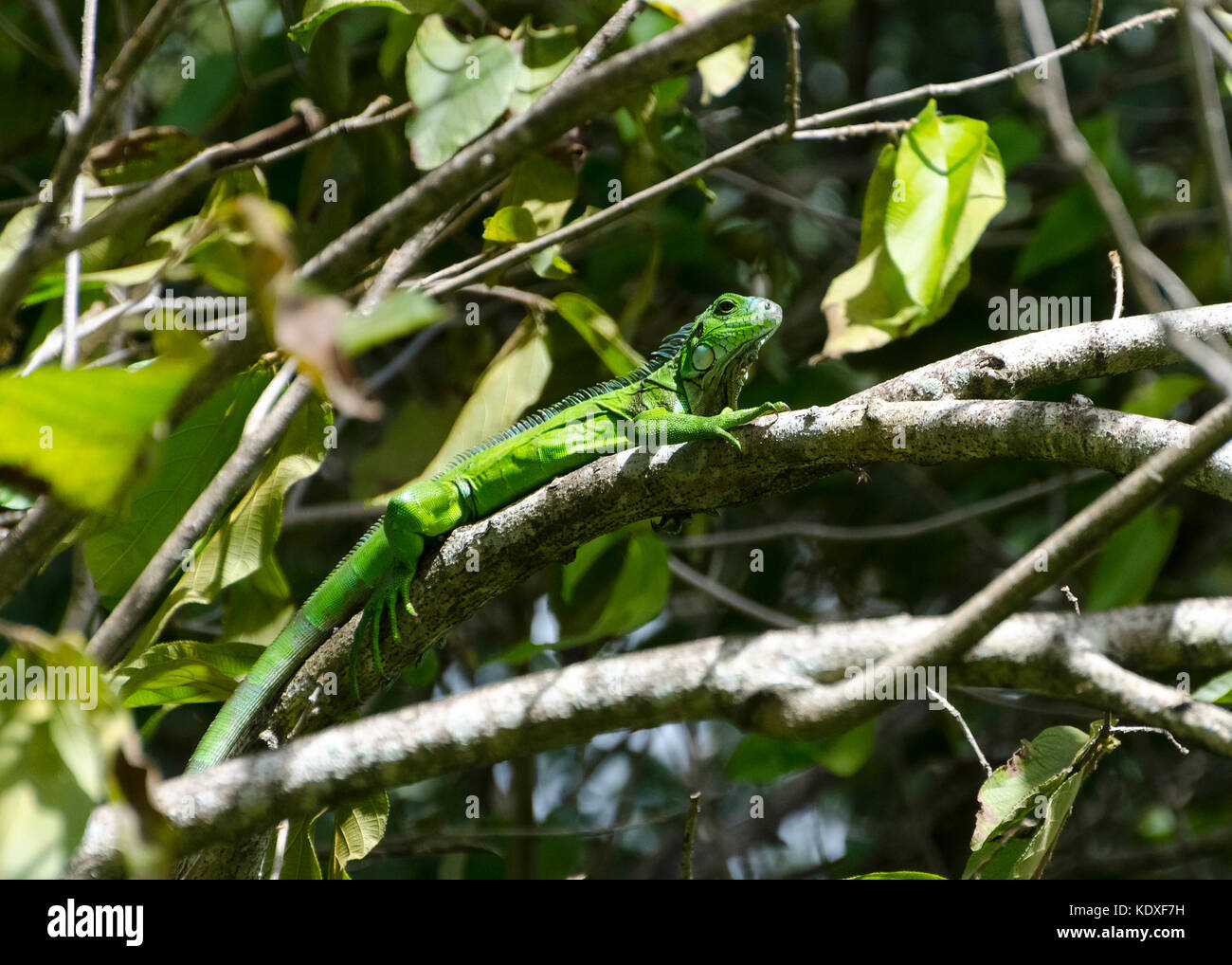 Green Iguana on a branch in the Northern Range Trinidad - Stock Image