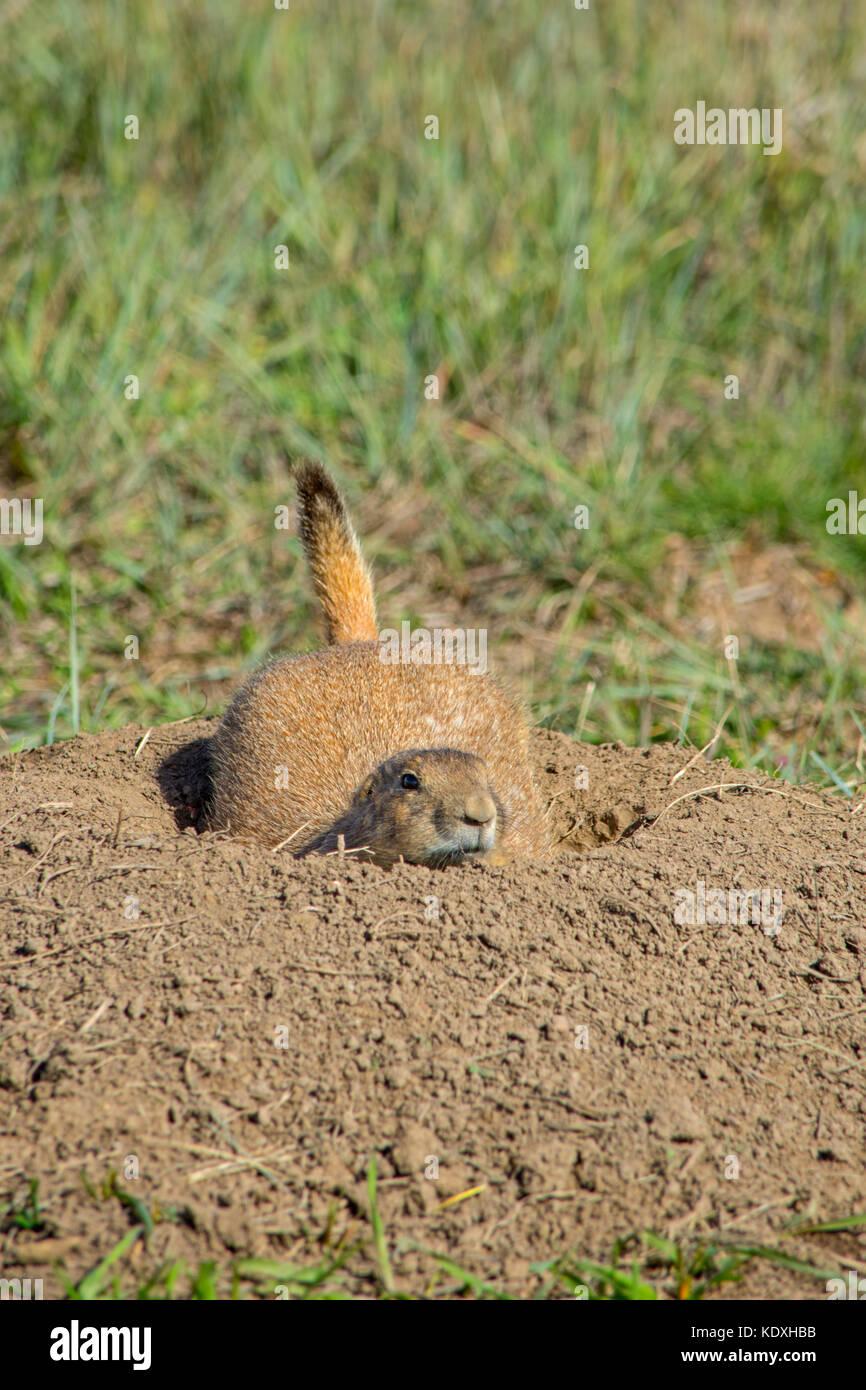 Gunnison's prairie dog (Cynomys gunnisoni), Castle Rock Colorado US. Photo taken in May 2018. - Stock Image