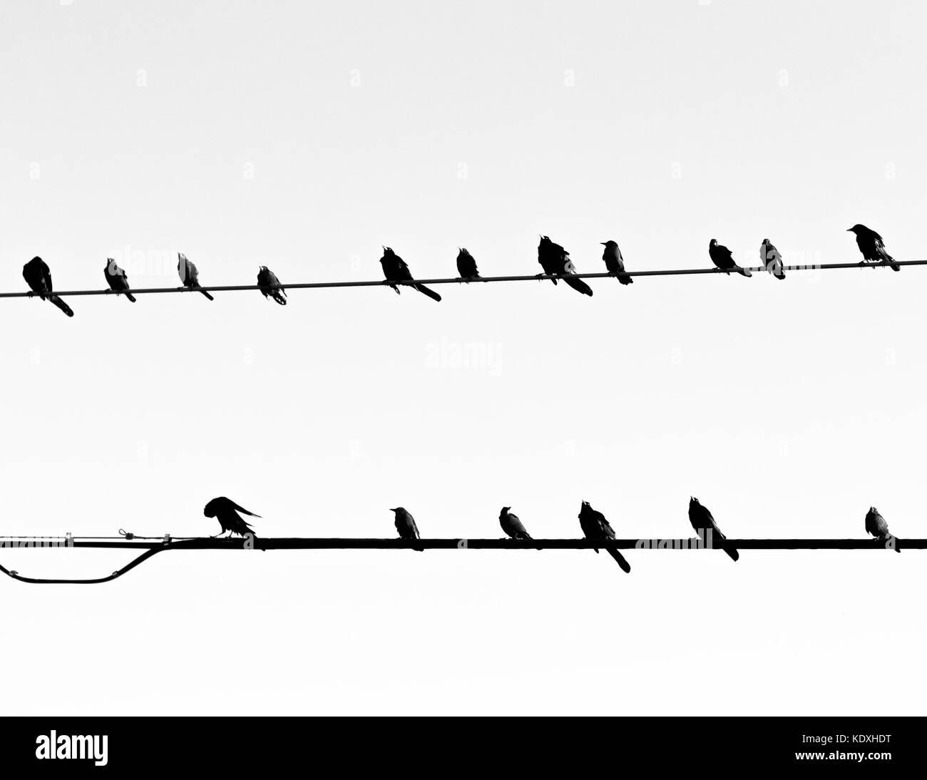 Birds on Powerlines - Stock Image