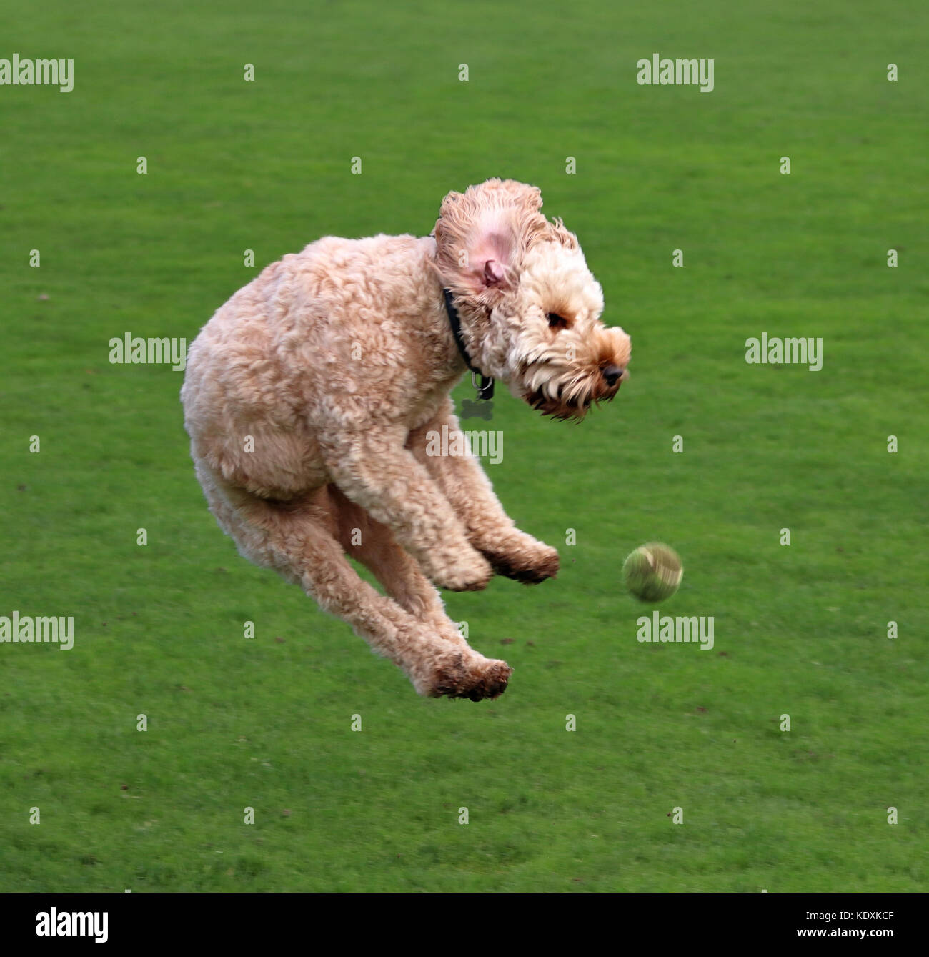 Cockapoo Dog in the air - Stock Image