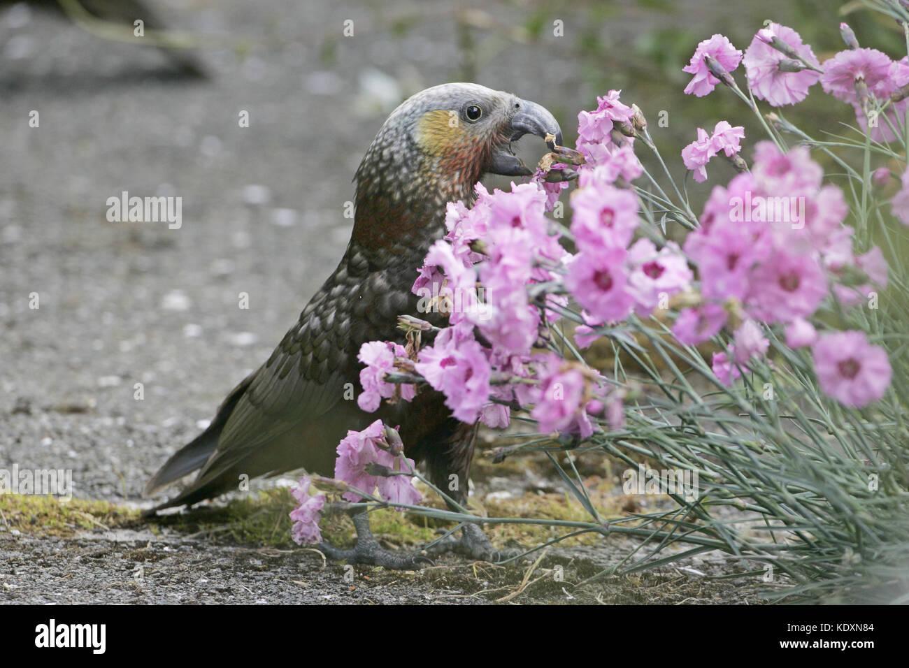 Kaka Nestor meridionalis an endemic parrot in garden eating flowers Stewart Island New Zealand - Stock Image
