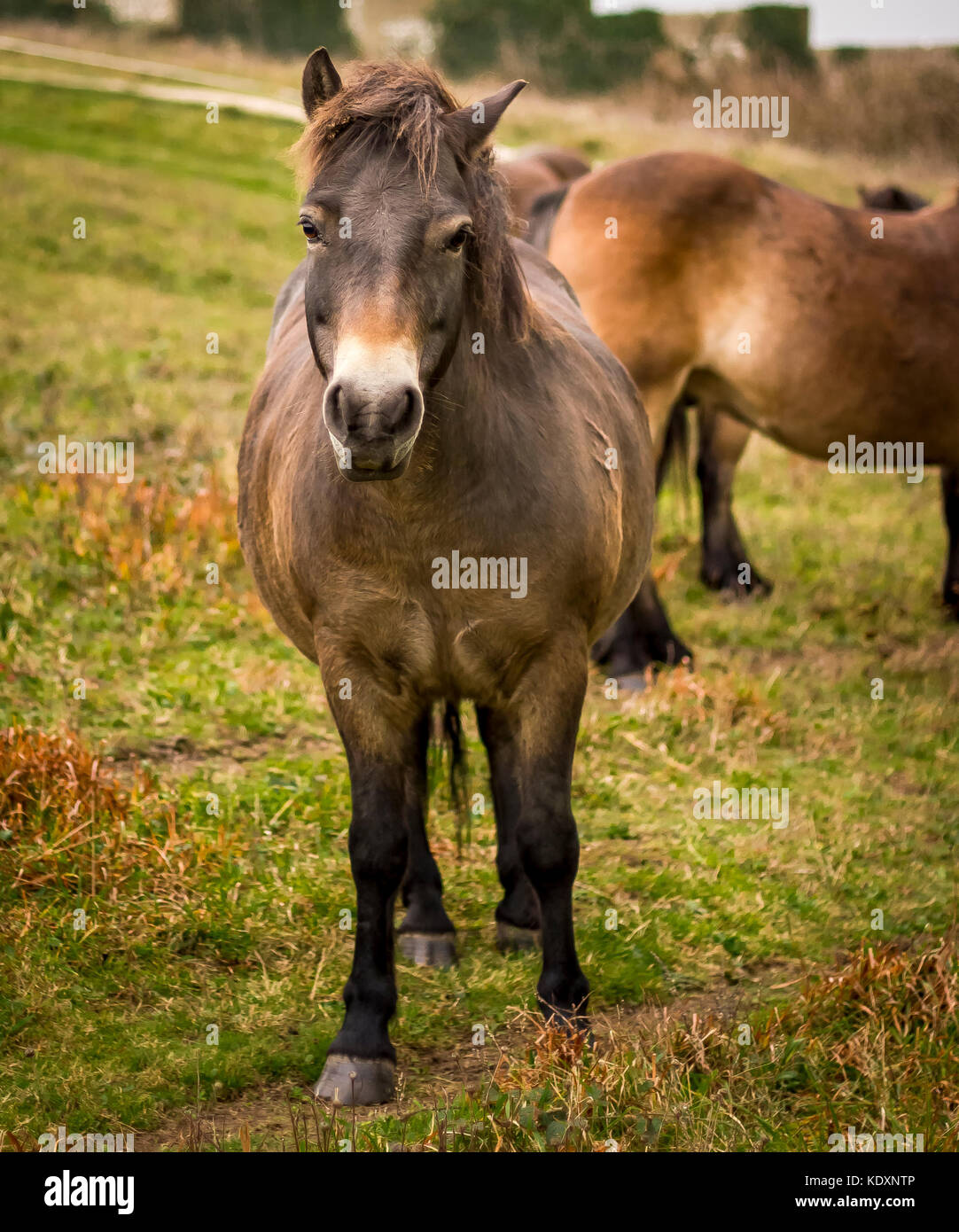 Dartmoor ponies relocated to the South Downs, Beachy Head. - Stock Image