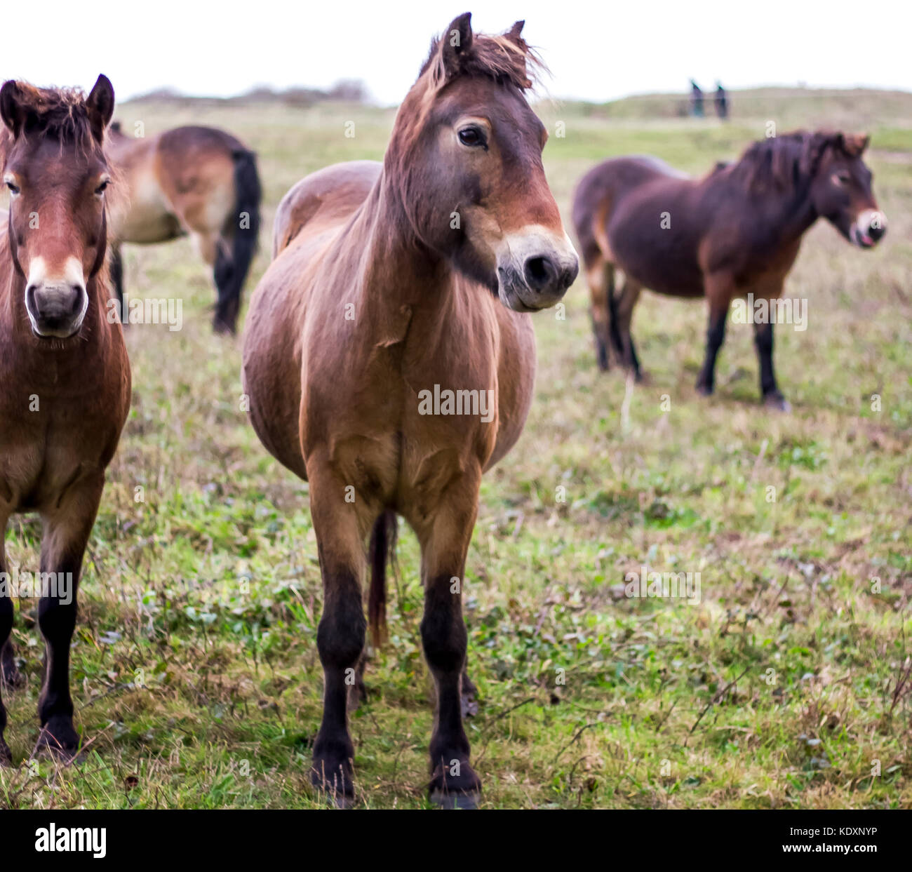 Dartmoor ponies relocated to the South Downs, Beachy Head. Stock Photo