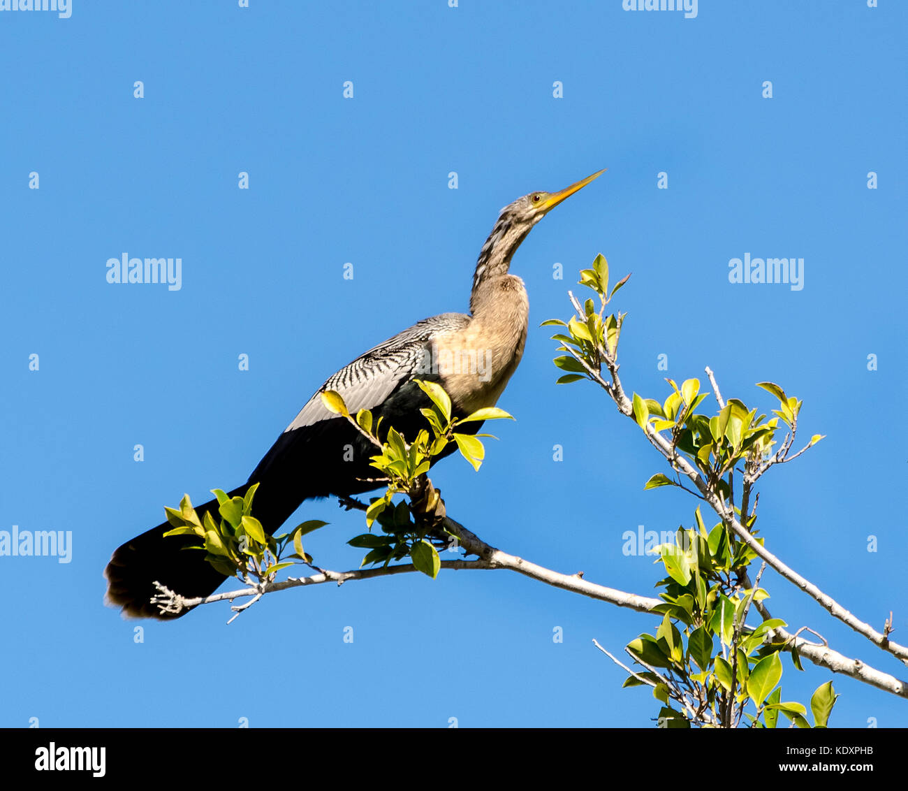 A female Anhinga waterbird (Anhinga leucogaster) rests on a mangrove branch in southern Florida, USA, after diving - Stock Image