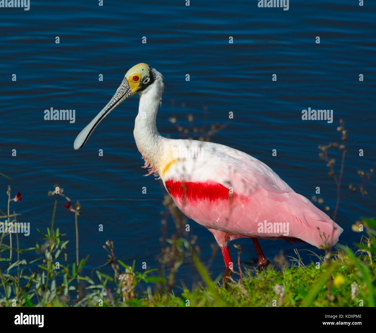 The roseate spoonbill (Platalea ajaja) is a very colorful wading bird recognized by its long and flat spoon-shaped - Stock Image