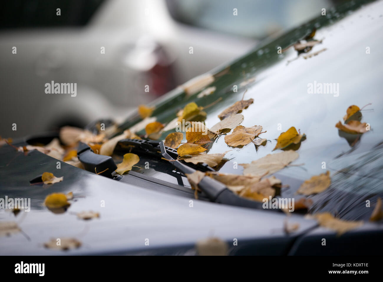 colored autumn leafs fallen from tree on the car  Stock Photo