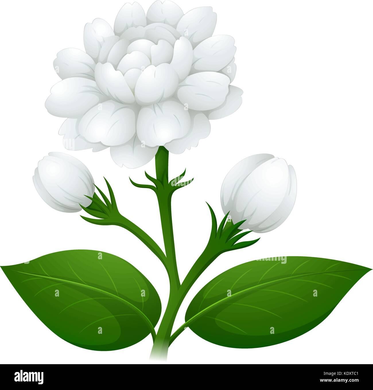 White Jasmine Flower Flowers Stock Vector Images Alamy