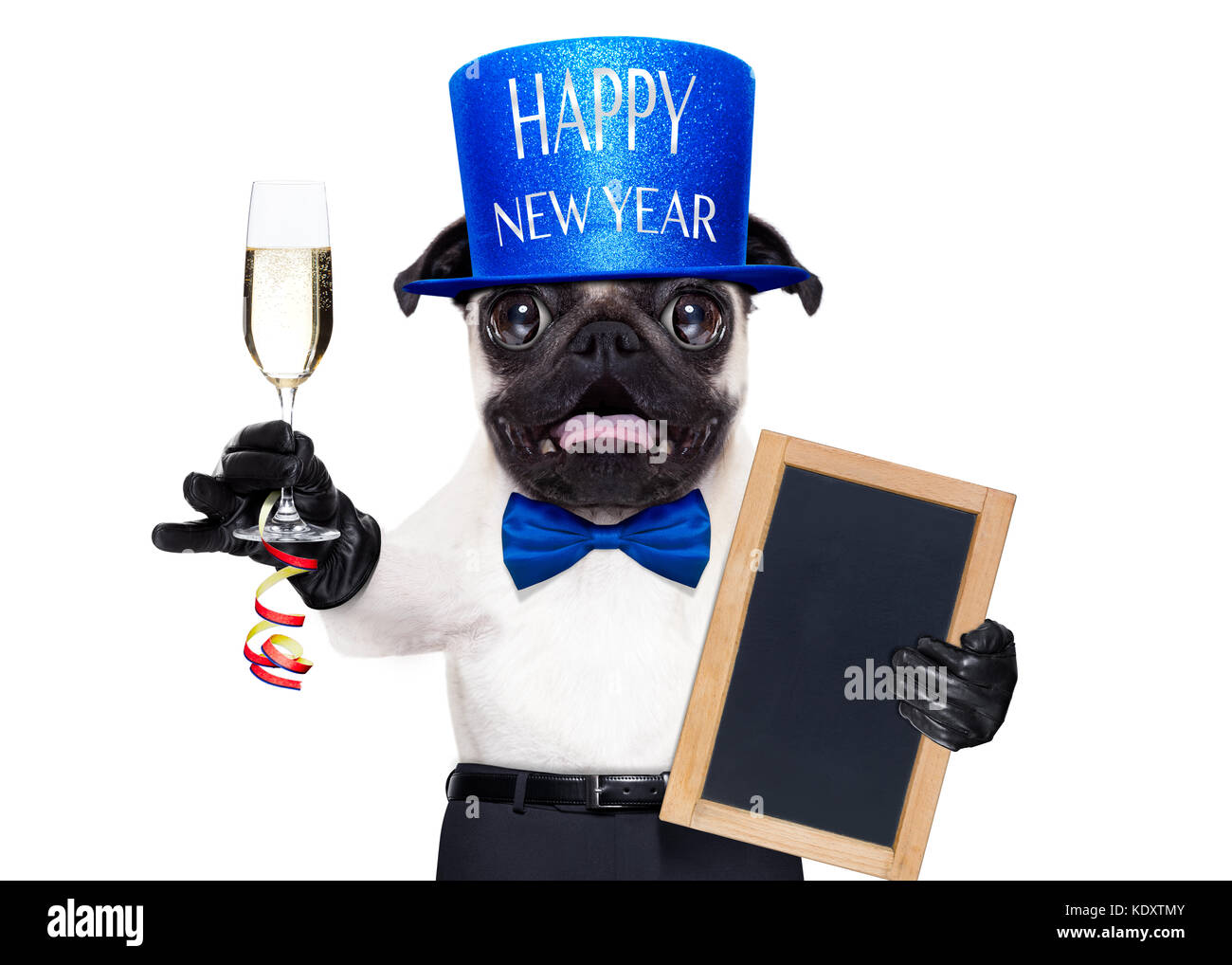 pug dog toasting for new years eve with champagne glass behind blank white banner blackboard or placard isolated on white background