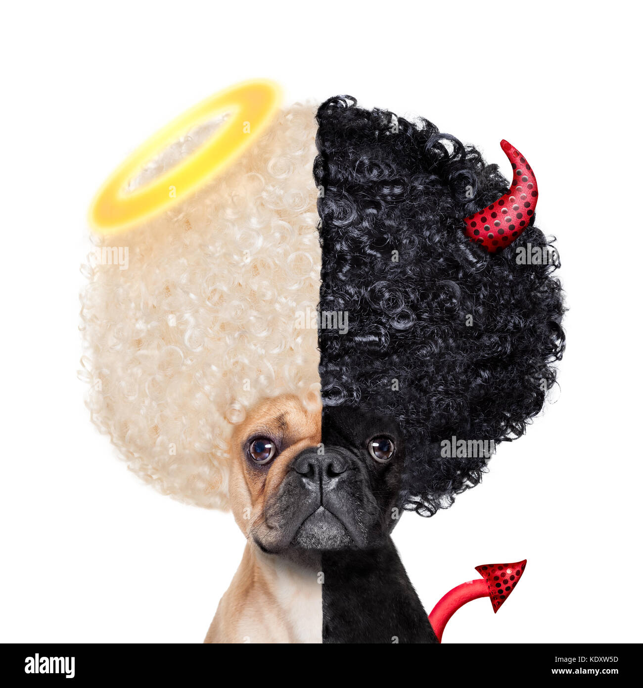 Devil and Angel fawn french bulldog dogs half face black and white ,deciding between right and wrong , good or bad, - Stock Image