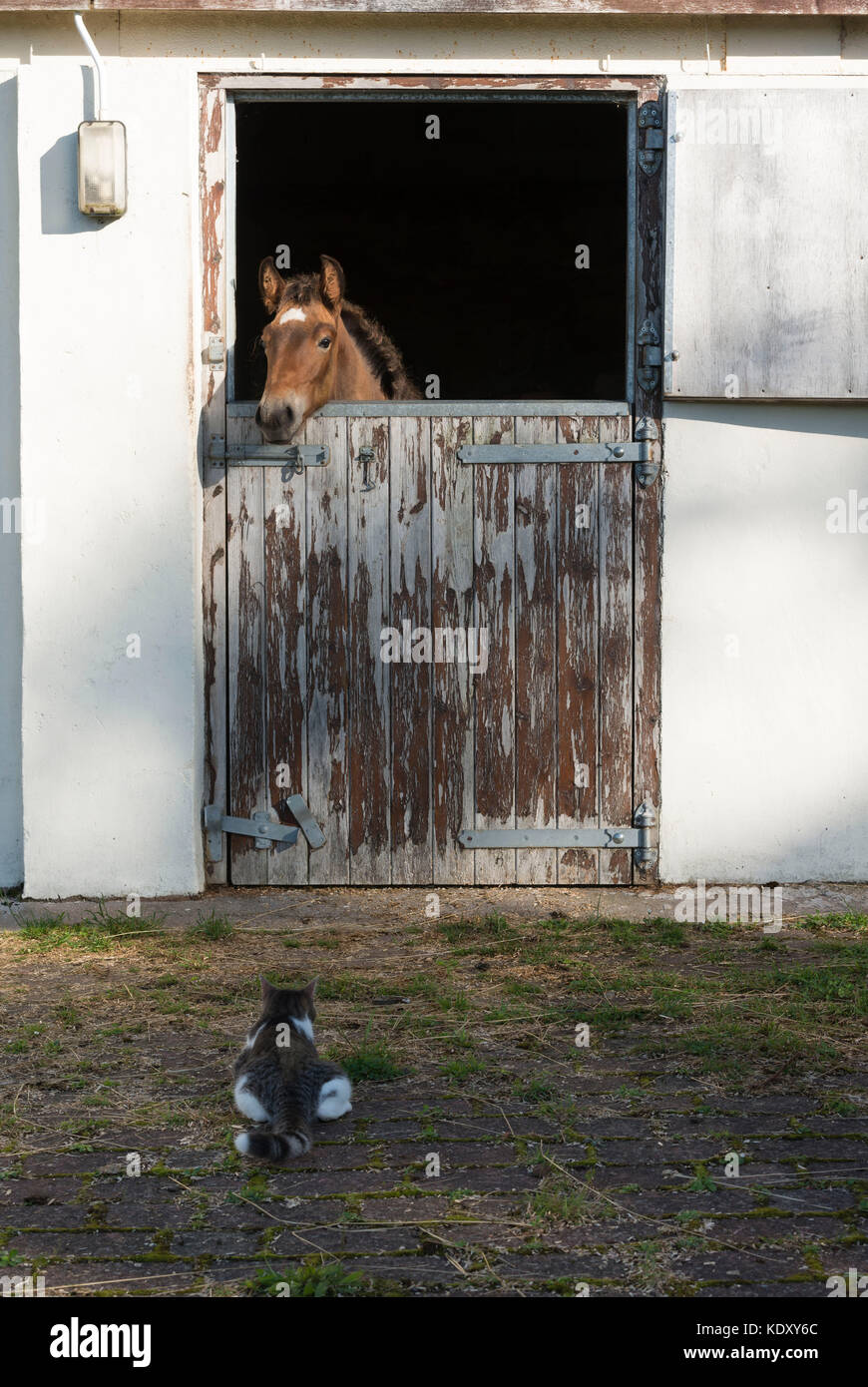 A Foal Watches a Kitten from his Stable Door - Stock Image