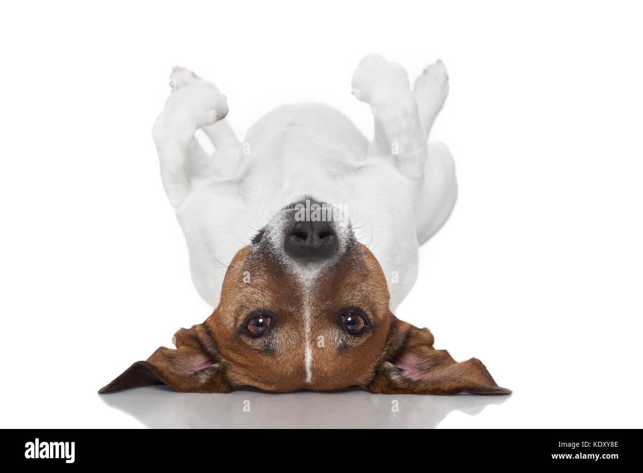 dog  laying upside down on back - Stock Image